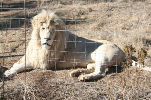 Lionheart2BL
