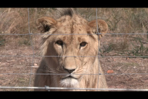Lionheart3BL