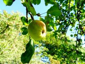 vineyardapple