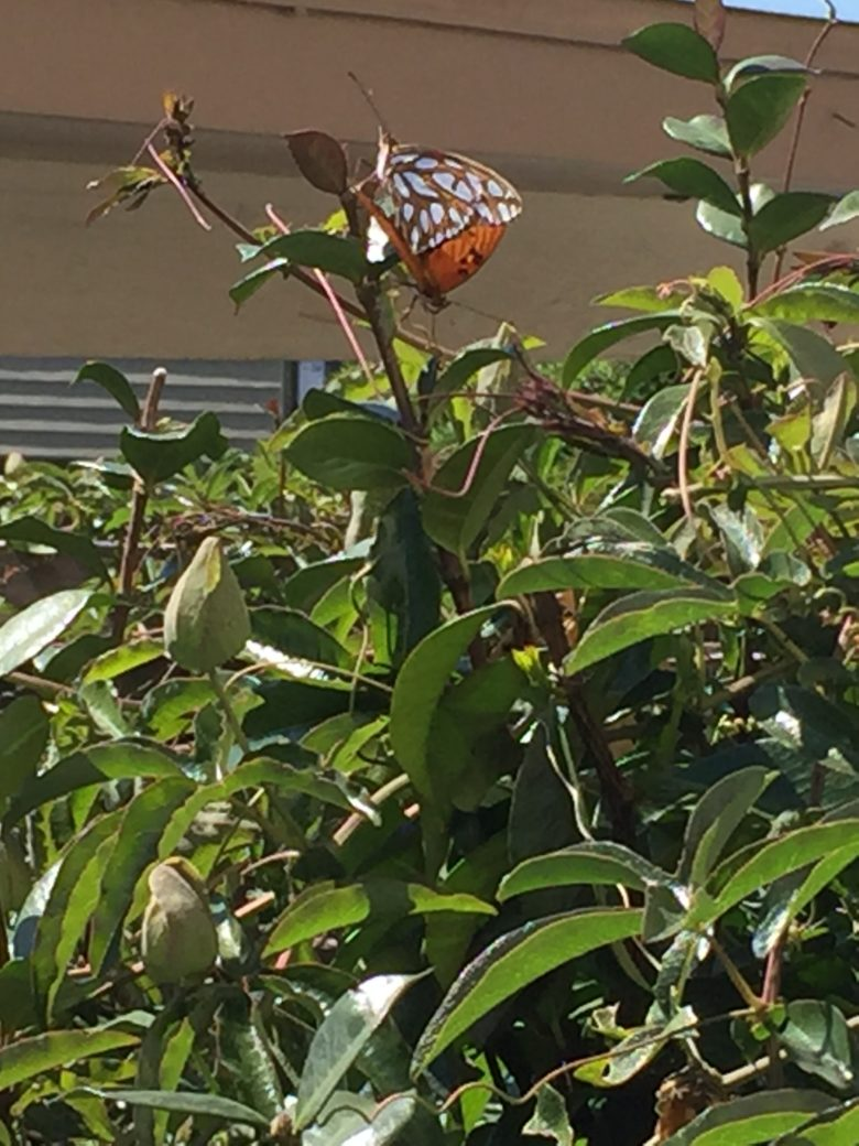 Postcard: Californian Butterflies